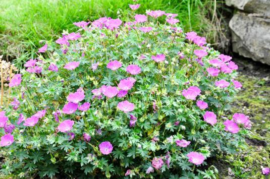 Герань кроваво-красная Макс Фрай в саду (geranium sanguineum Max Frei in garten)