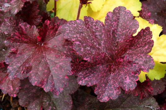 Гейхера Миднайт Розе (heuchera Midnight Rose)