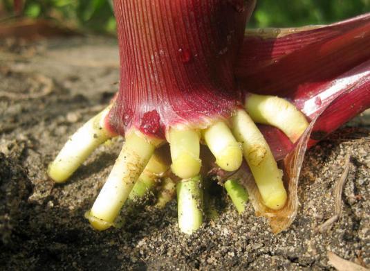 Придаточные воздушные корни кукурузы