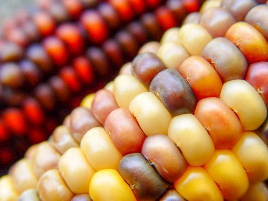 Форма, размер и цвет зерновок кукурузы зависит от сорта