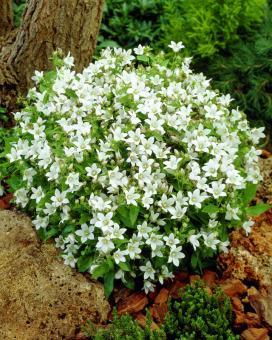 Колокольчик молочноцветковый Вайт Пуффе (Campanula lactiflora White Pouffe)
