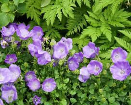 Колокольчик карпатский Блю Клипс (campanula carpatica Blue Clips)