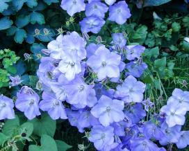 Колокольчик карпатский Блю Мунлайт (campanula carpatica Blue Moonlight)