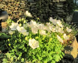 Колокольчик карпатский Перл Вайт (campanula carpatica Pearl White)