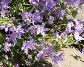Колокольчик гарганский (campanula garganica)