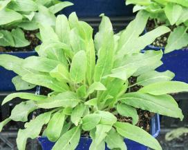 Колокольчик скученный (Campanula glomerata)