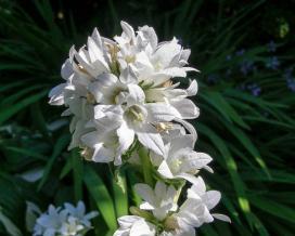 Колокольчик скученный Альба (campanula glomerata alba)