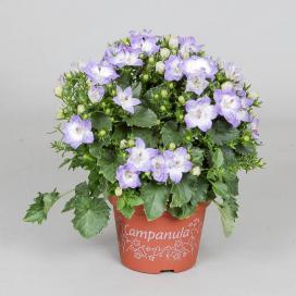 Колокольчик равнолистный Дублин Биколор (campanula isophylla Dublin Bicolor)