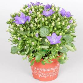 Колокольчик равнолистный Наполи (campanula isophylla Napoli)