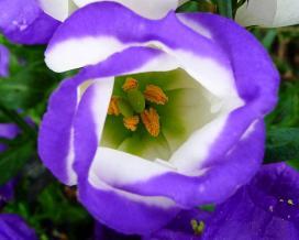 Колокольчик средний (campanula medium)