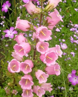 Колокольчик средний Сингл Розе (campanula medium Single Rose)