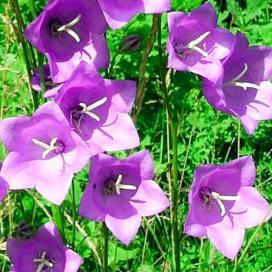 Колокольчик персиколистный (campanula persicifolia)