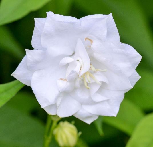 Колокольчик средний Морини (campanula persicifolia Moerheinii)