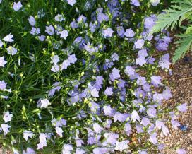 Колокольчик круглолистный (Campanula rotundifolia)