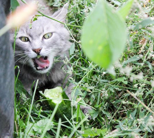 Кот ест огурец ))