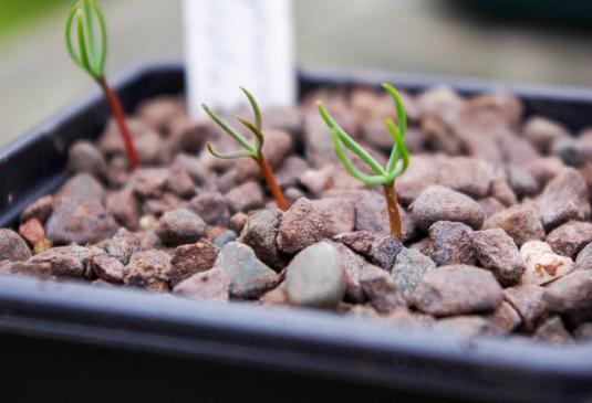 Сеянцы кипариса (cupressus torulosa)