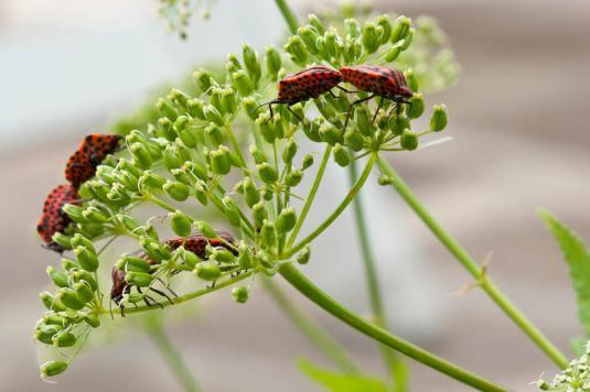 Щитник линейчатый (graphosoma italicum)