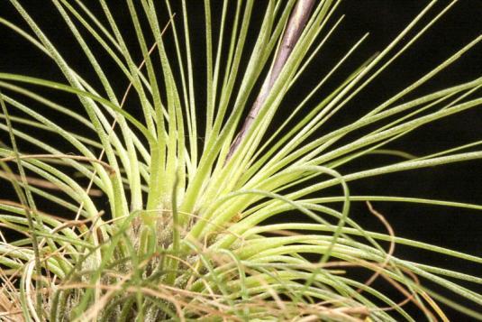 Тилландсия серебристая (Tillandsia argentea)