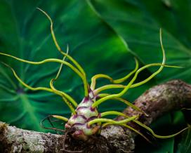 Тилландсия луковицевидная (Tillandsia bulbosa)
