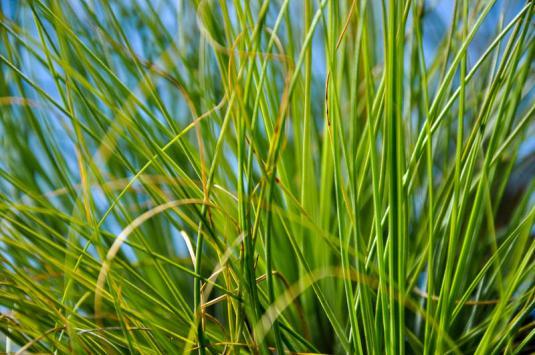 Тилландсия нитевидная (Tillandsia filifolia)