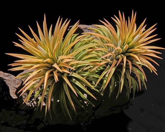 Тилландсия фиалкоцветная Пич (tillandsia ionantha Peach)