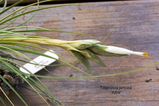 Тилландсия ситниковая белоцветущая (tillandsia juncea alba)