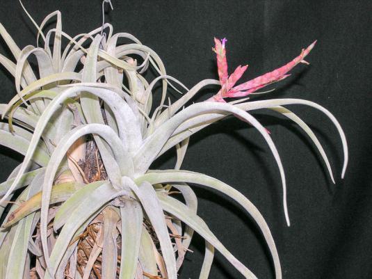 Тилландсия широколистная (tillandsia latifolia)