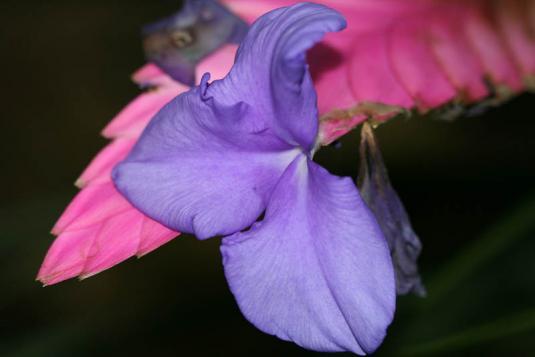 Тилландсия Линдена (tillandsia lindenii)