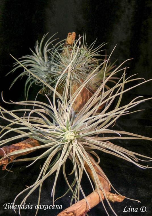 Тилландсия оаксакана (tillandsia oaxacana)