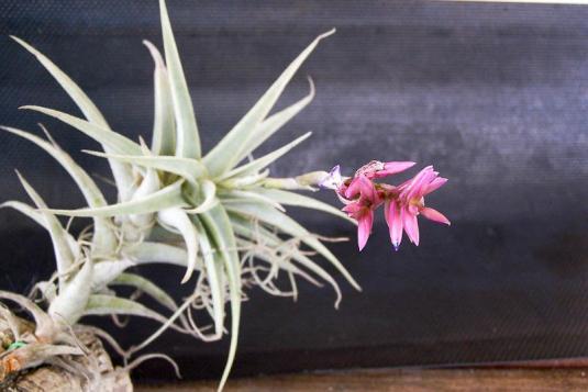 Тилландсия пурпурная (tillandsia purpurea)