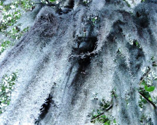 Тилландсия уснеевидная (tillandsia usneoides)