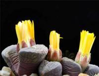 Литопсы, или живые камни, могут даже в горшке выдержать около года без единой капли воды