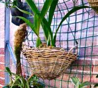 Выращивание орхидей в корзине