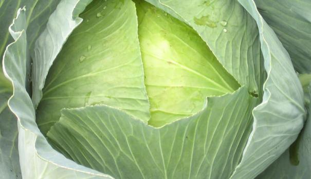 сорта капусты белокочанной