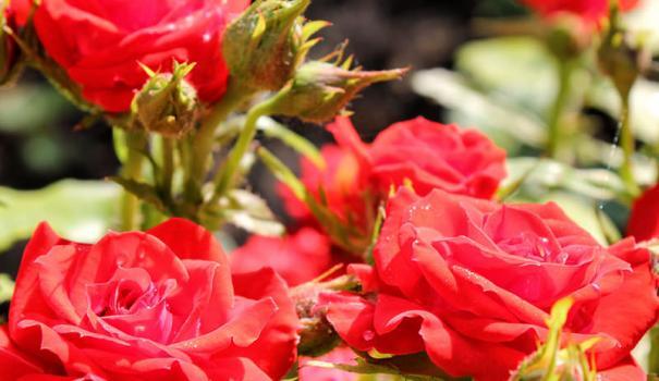 Полиантовые розы фото уход